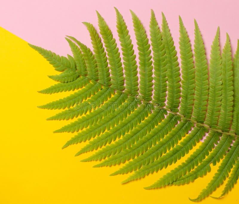 Ormbunkeblad på en kulör pastellfärgad bakgrund Bästa sikt, minimalism royaltyfria foton