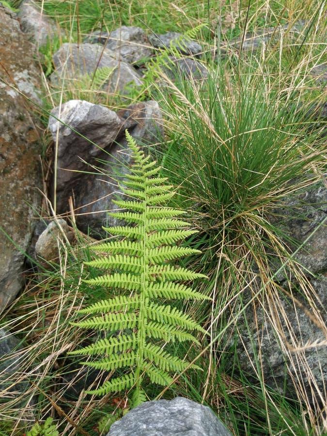 Ormbunkebladcloseup mot gräs- stenig bakgrund fotografering för bildbyråer