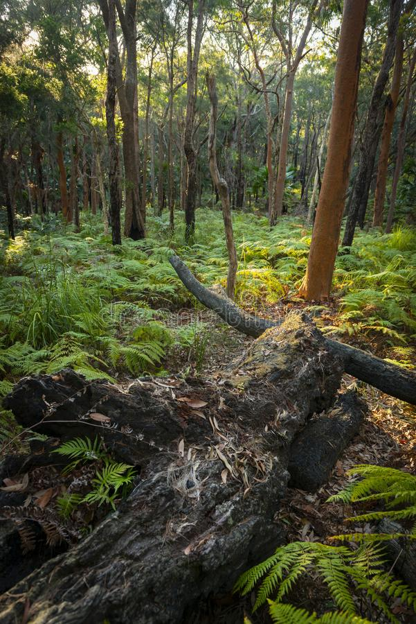 Ormbunkeskog i Munmorah tillståndsnaturvårdsområde royaltyfri foto