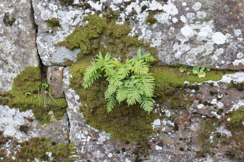 Ormbunkeväxter och mossa som växer i sprickor av gammalt, stenar väggen arkivbild