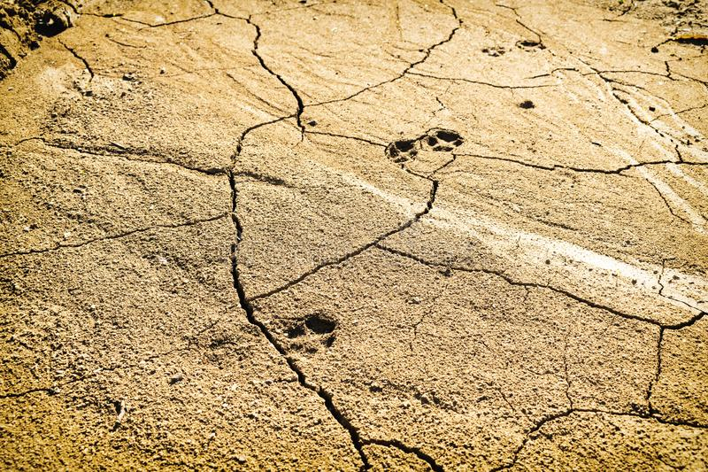 Orme dell'animale sulla terra molto asciutta del deserto, giorno di estate caldo fotografie stock