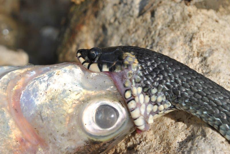 Ormen sväljer fisken royaltyfria foton
