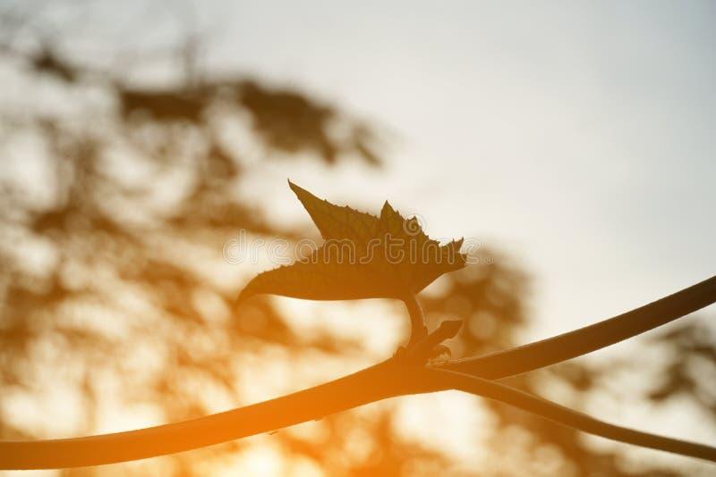 Ormkalebassblad och solljus i naturträdgård royaltyfria foton