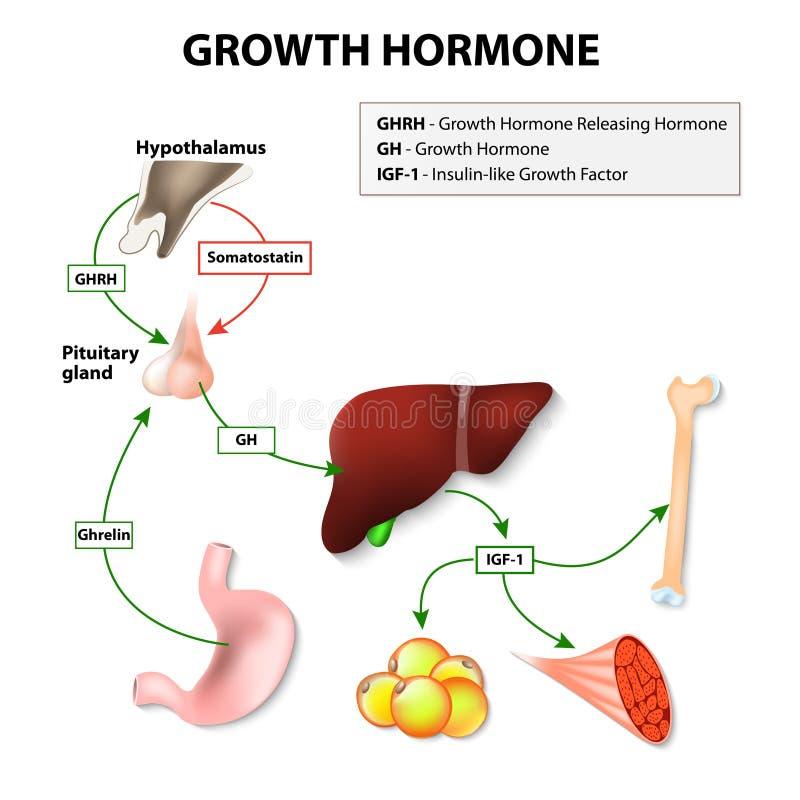 Ormone umano della crescita illustrazione di stock
