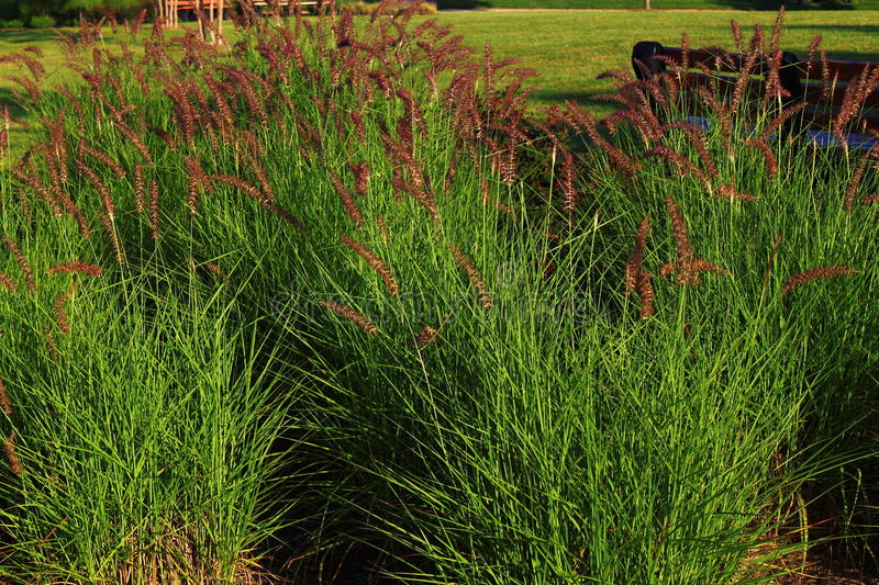 Download Ornamental Grass stock image. Image of green, grass, flowering - 42010089