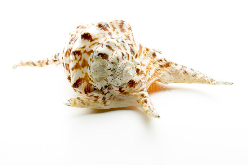 Ornament Shell Royalty Free Stock Images