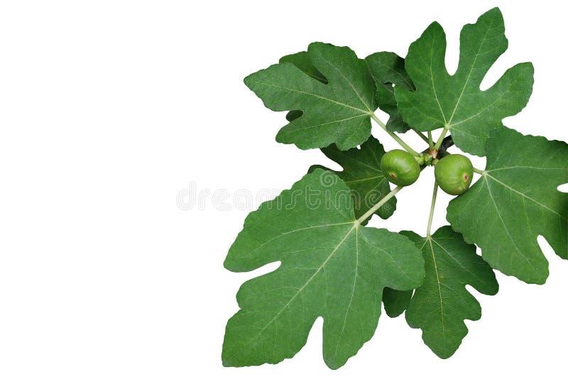 Ornamentacyjna figi gałąź z zieleni potomstwami i liśćmi czupirzy fru obrazy stock