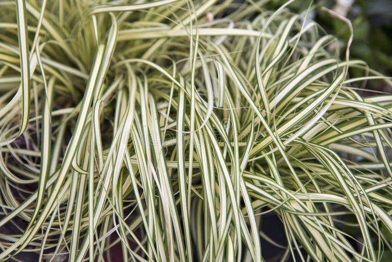 Ornamentacyjnej rośliny tasiemkowej trawy zbliżenie zdjęcia royalty free