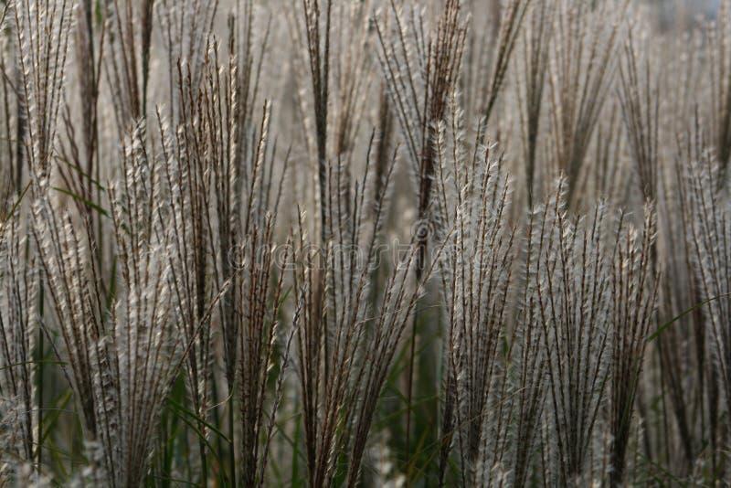 Ornamentacyjni trawa pióropusze zdjęcie royalty free
