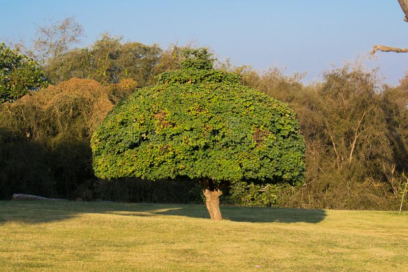 Ornamentacyjny drzewo w ogródzie obraz stock