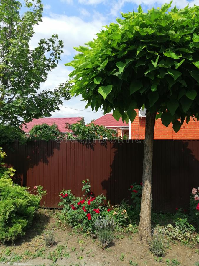 Ornamentacyjny drzewo z ampuła liśćmi i białymi kwiatami zdjęcia stock