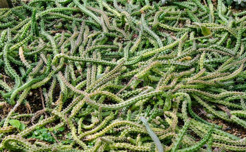 Ornamentacyjny Konopiany Kaktusowy spojrzenie jak wąż zdjęcie stock