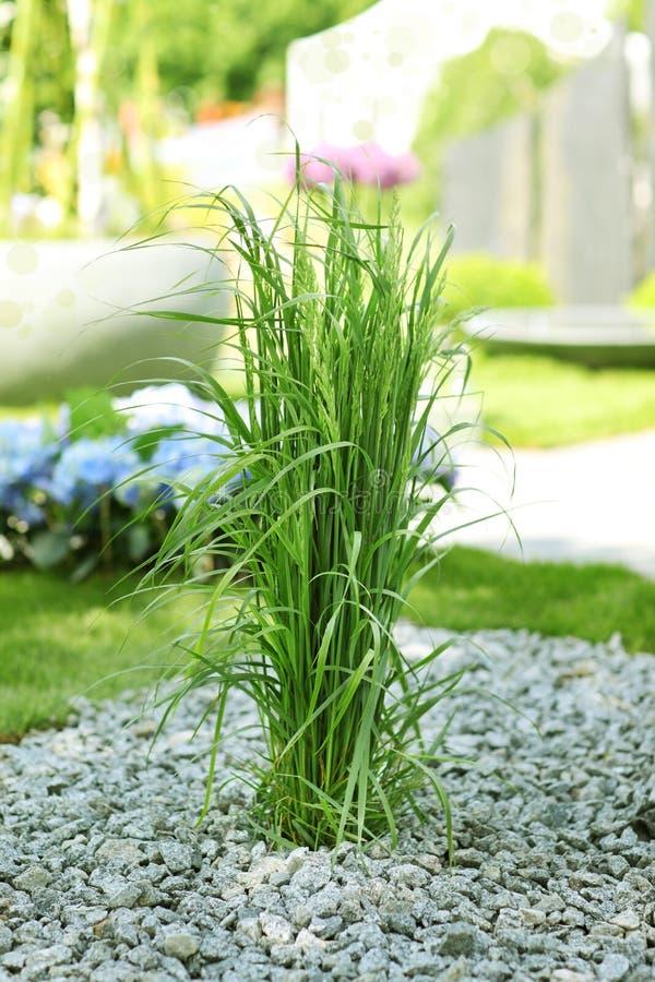 ornamental травы сада стоковая фотография rf