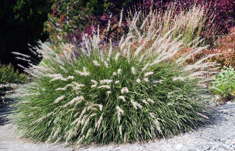 ornamental травы стоковые фото
