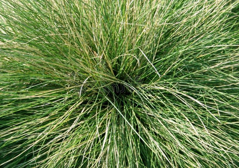 Ornamental травы Стоковое Фото