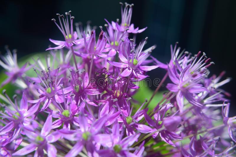 Ornamental Allium macro stock photography