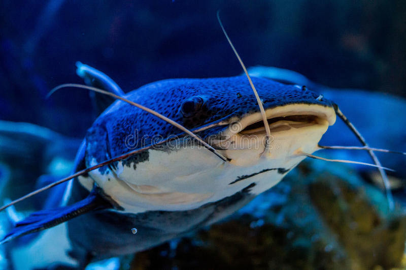 Ornamental aquarium fish. Aquarium fish — ornamental fish that are kept in aquariums. The first mention of the artificial breeding of fish found in stock image