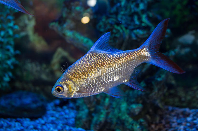 Ornamental aquarium fish. Aquarium fish — ornamental fish that are kept in aquariums. The first mention of the artificial breeding of fish found in royalty free stock image