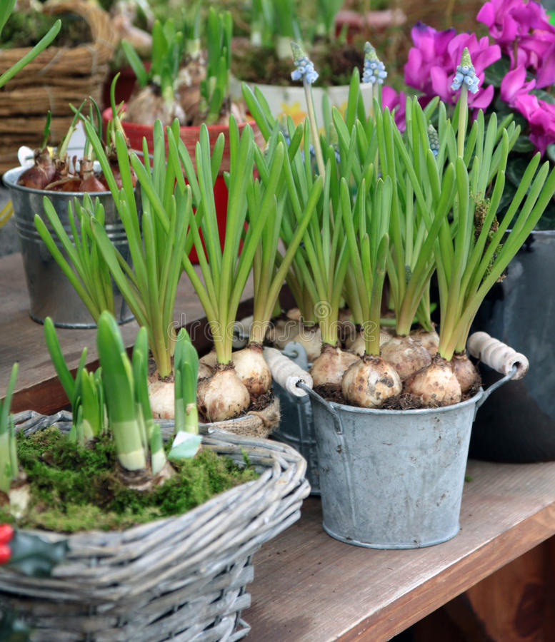Ornamental bulbs in to the pots stock images