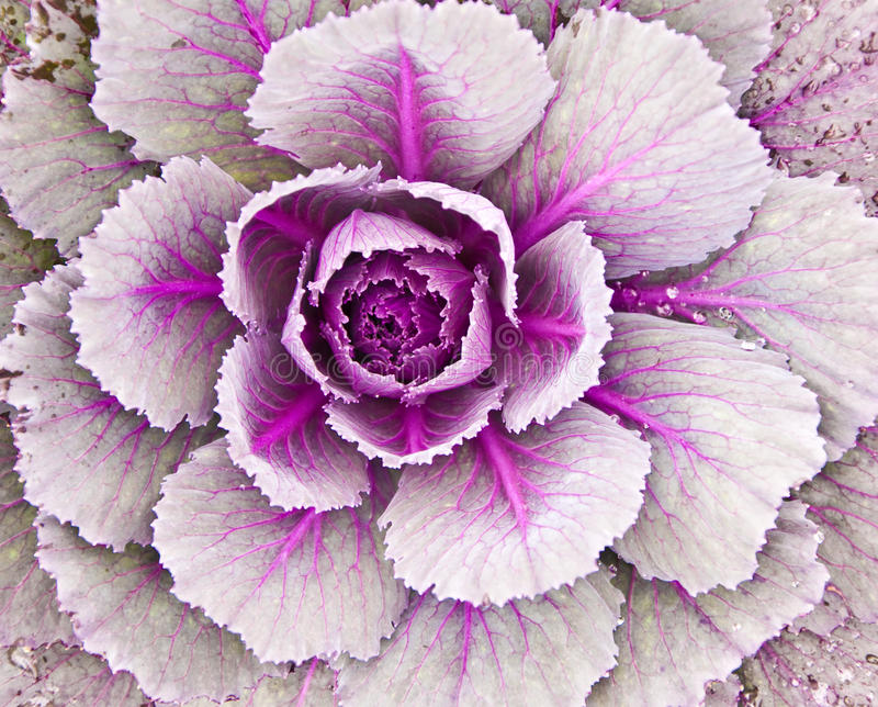 Download Ornamental cabbage stock photo. Image of garden, food - 11271148