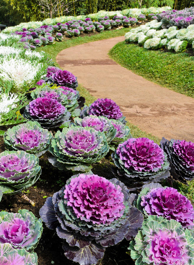 Download Ornamental cabbage stock photo. Image of blossom, oleracea - 28788550