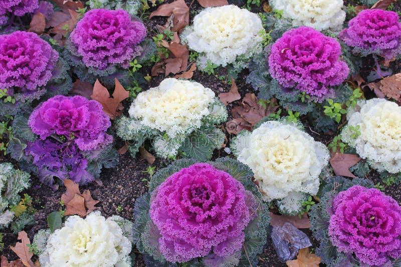 Ornamental cabbage in the garden stock photo