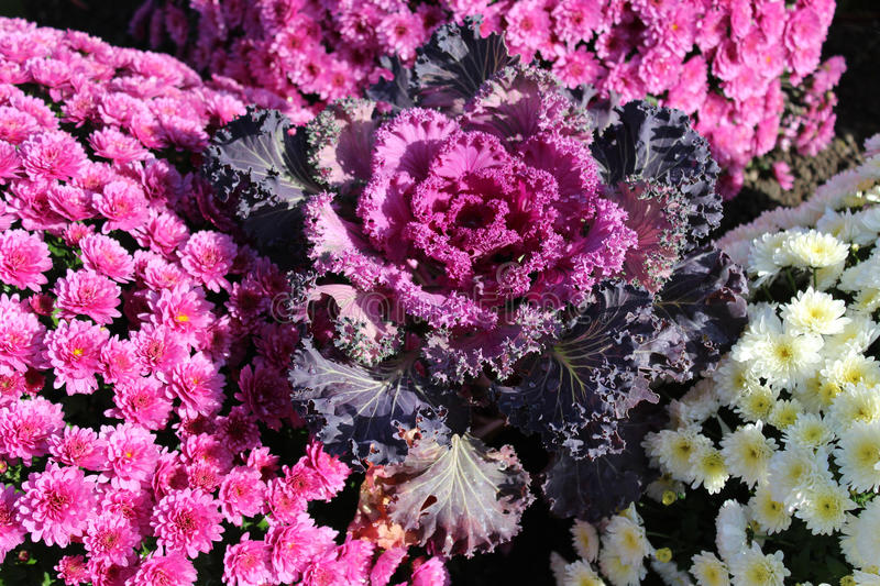 Ornamental cabbage with pink and white chrysanthemums in the flo stock images