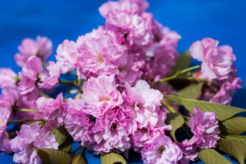 Ornamental cherry on a blue background stock images