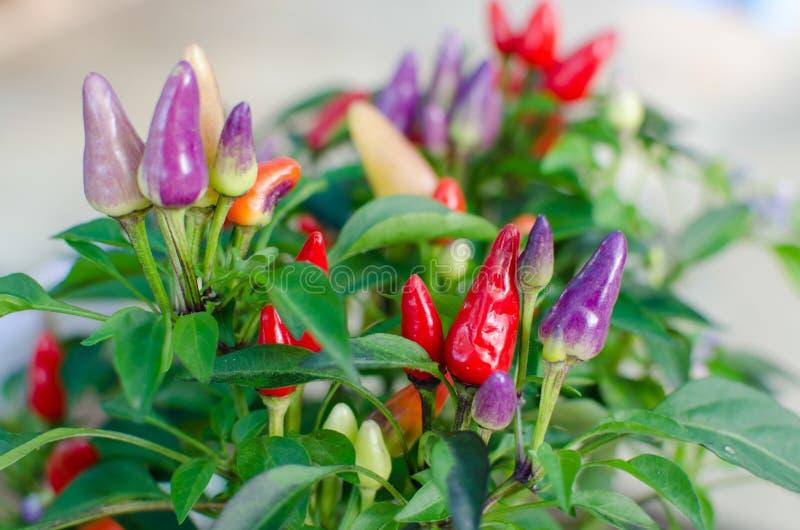 Ornamental Chili - Bolivian Rainbow Chili royalty free stock images