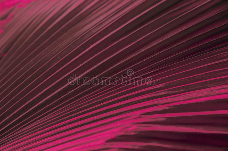 Ornamental colorful foliage, Tropical leaf palm of dak red color. Abstract natural pattern texture, exotic geometric stock photography
