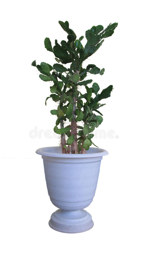 Ornamental da planta imagem de stock royalty free