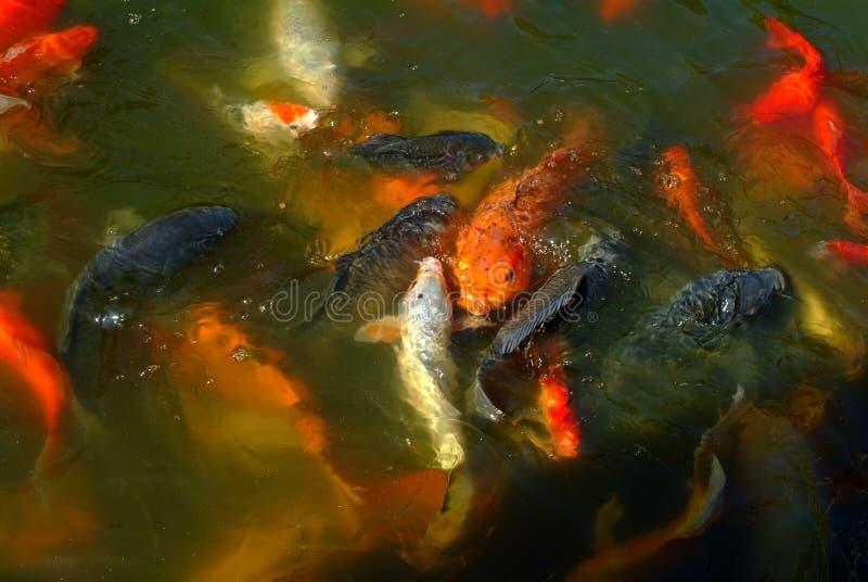 ornamental de poissons photographie stock libre de droits