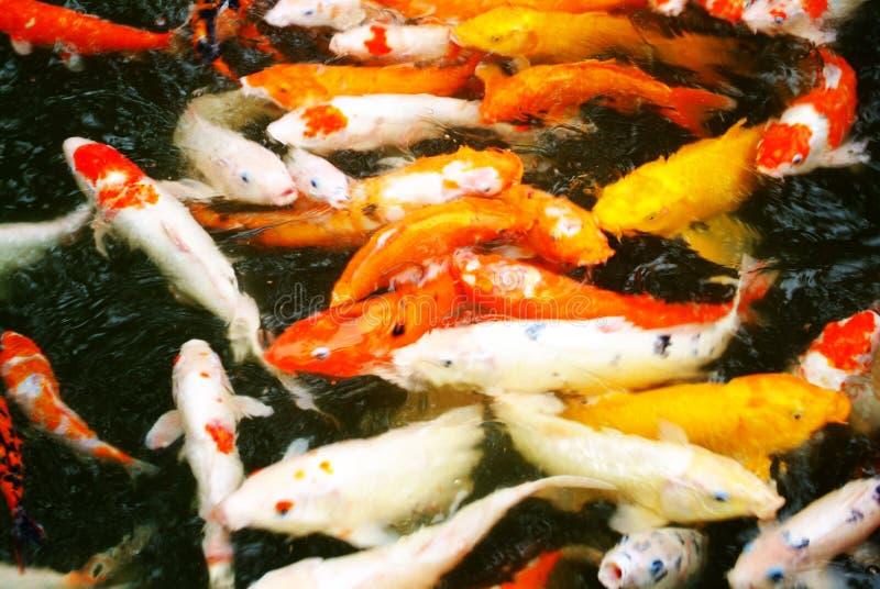 ornamental de poissons photo stock