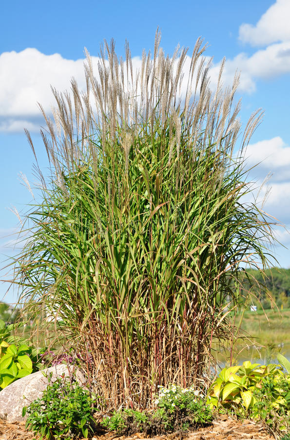 Free Ornamental Flame Grass (Miscanthus) Royalty Free Stock Images - 11077919