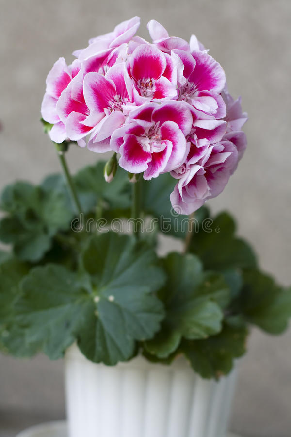 Ornamental flower. Close-up of ornamental flower with beautiful colors royalty free stock images