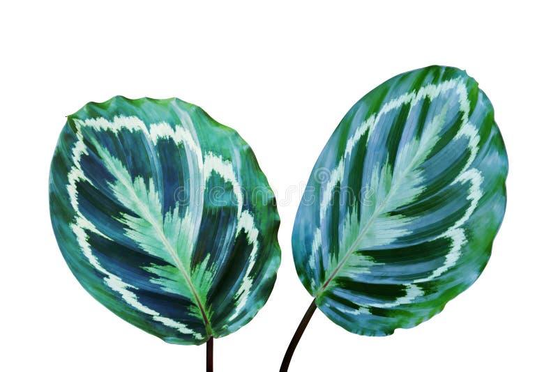 Ornamental Foliage Leaves of Calathea Plant Isolated on White Background vector illustration