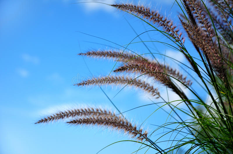 Ornamental Fountain Grass (Pennisetum). Plumes of Ornamental Fountain Grass (Pennisetum), Copy Space stock photography