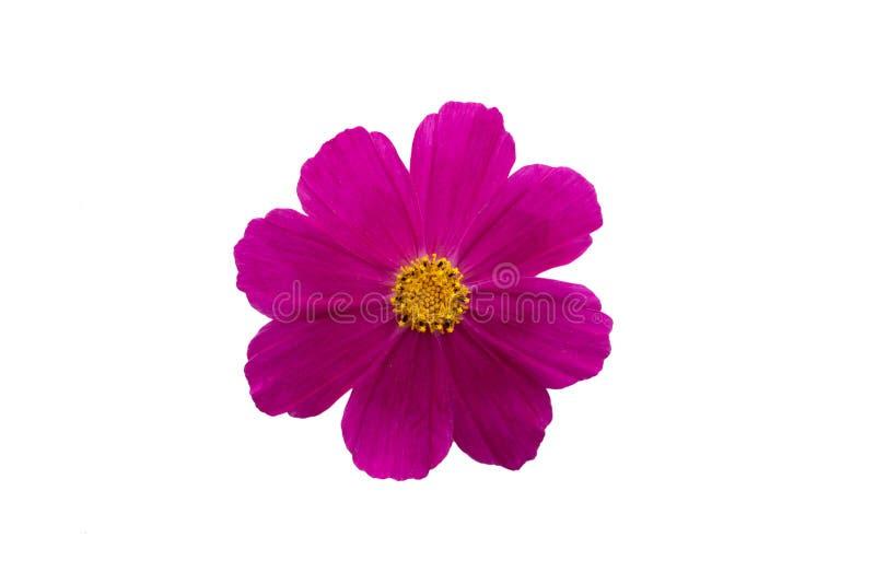 Ornamental fuchsia pink garden plant Cosmos bipinnatus close-up macro stock photo