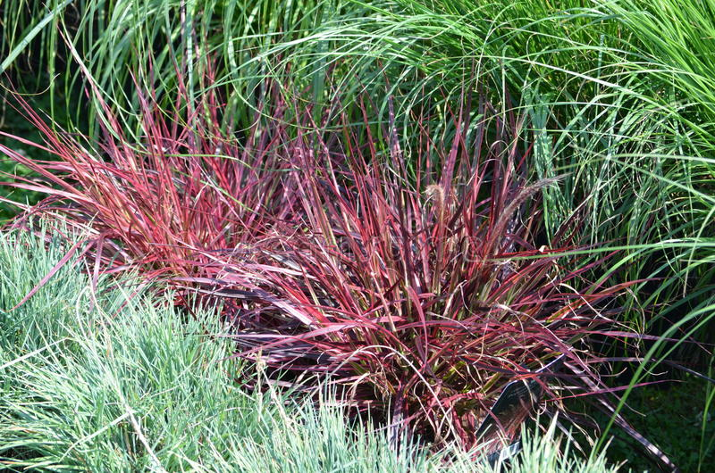 Ornamental garden grass stock photo
