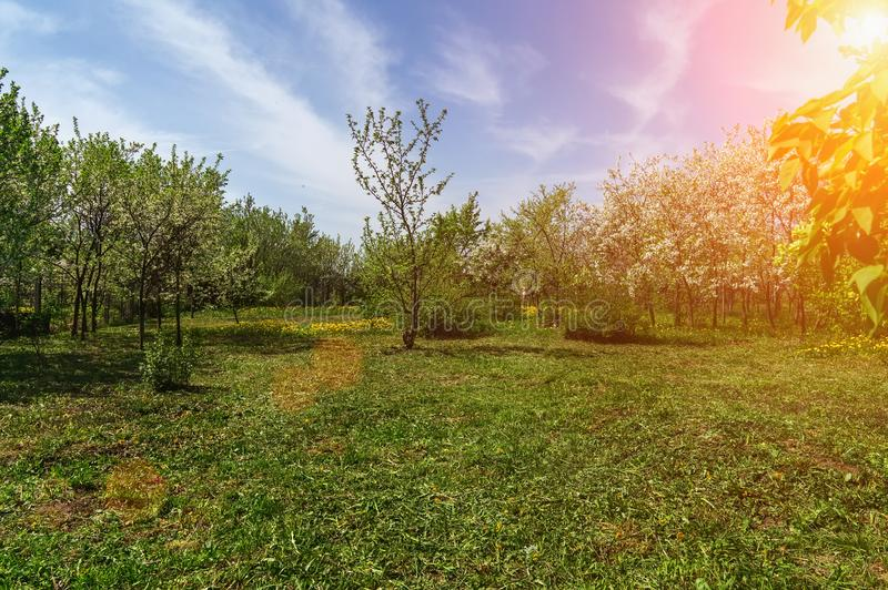 Ornamental garden with majestically blossoming large cherry trees and Apple trees on a fresh green lawn. Toned royalty free stock photography
