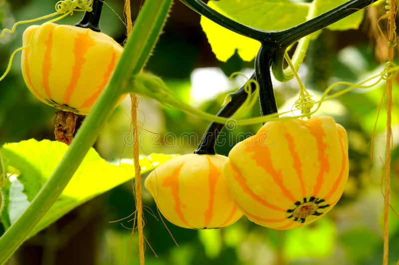 Download Ornamental Gourds stock image. Image of botanical, trellised - 15804243