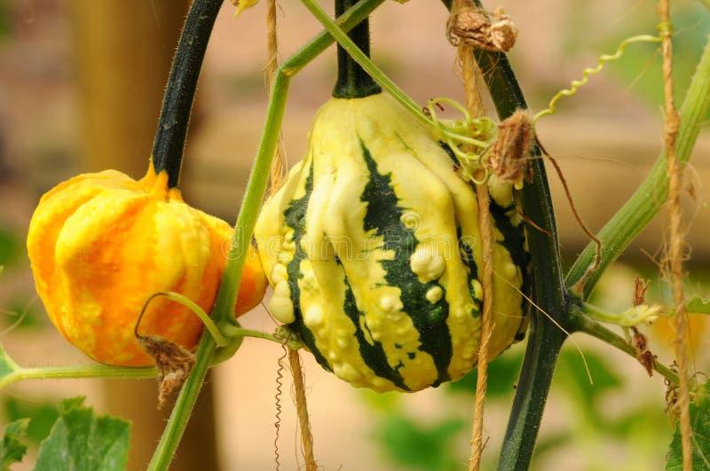 Ornamental Gourds Stock Photos