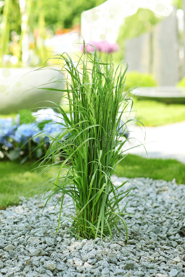 Download Ornamental grass in garden stock image. Image of nature - 25439527