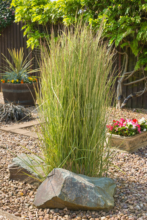 Ornamental grass in a gravel bed and rockery stock image for Tall green ornamental grass