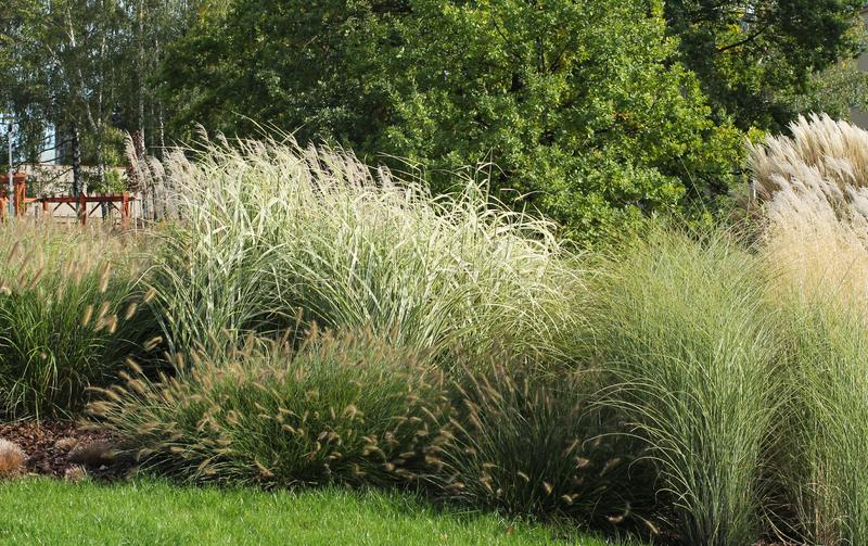 Ornamental grass. Growth of various species of ornamental grass royalty free stock image