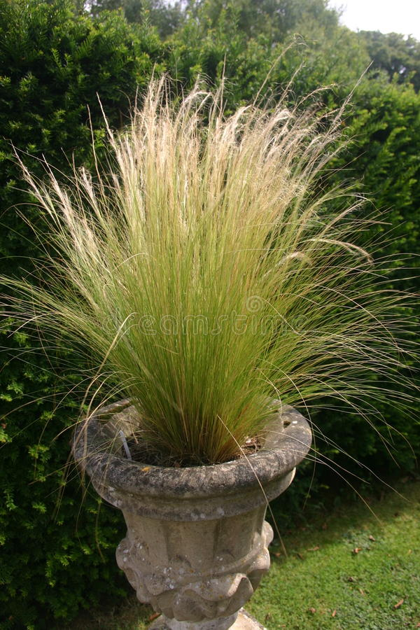 Ornamental grass in jardiniere. With hedge behind as background stock image