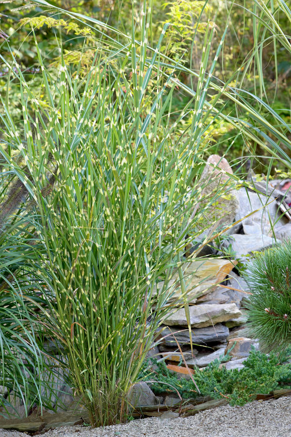 Ornamental Grasses Royalty Free Stock Photography