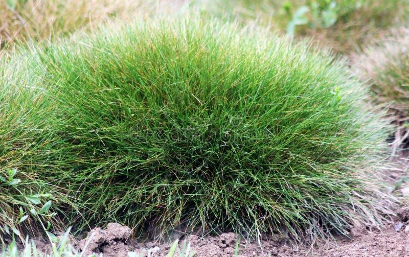 Ornamental grasses Bear plant Festuca gautieri stock photos