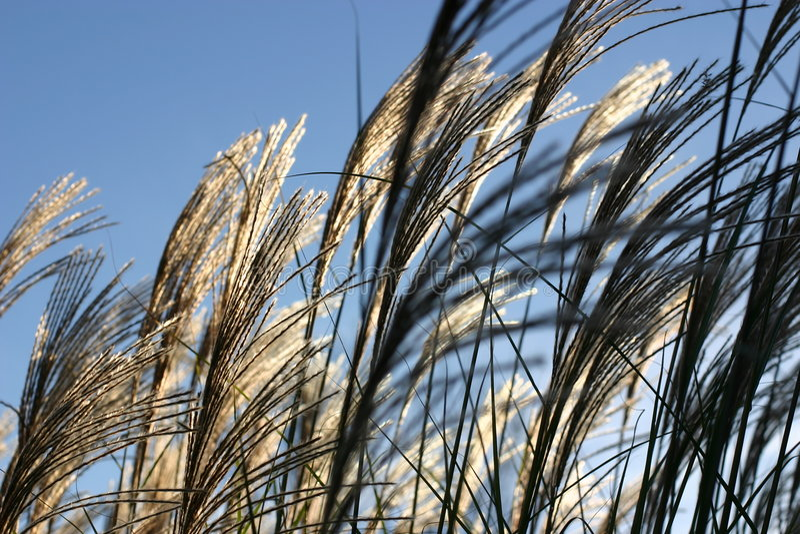 Ornamental grasses in wind stock image
