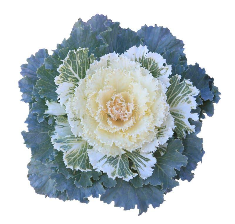Ornamental Kale. Green, yellow, White Ornamental Kale cabbage flower royalty free stock photo